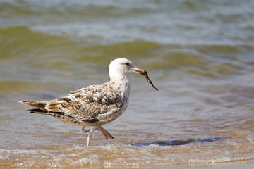 The gull in its beak caught algae