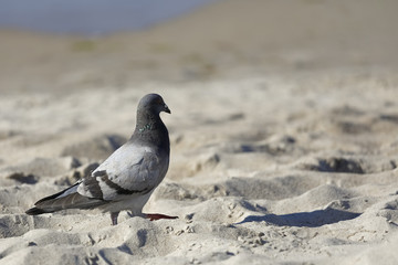 The pigeon walk on the beach