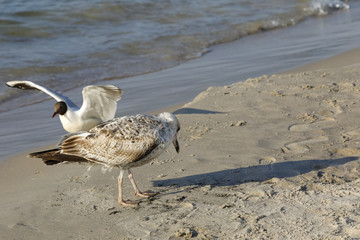 Two seagulls on a sandy beach off the sea shore