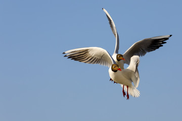 Two seagulls on flight against blue sky