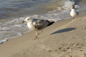 Two seagulls walk on the beach