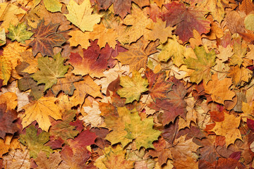 Wall Mural - Autumn leaves in forest. Seasonal background.