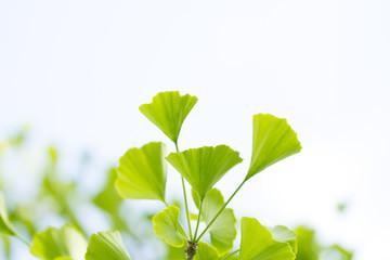 Gingko, Ginkozweig (ginko bilboa) - Baum des Lebens
