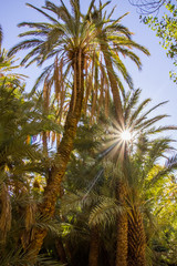 Beautiful palms in oasis close to Tinghir, Morocco in Africa