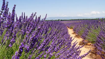 Tuinposter Lavendel Champs de lavande Provance