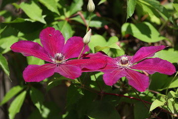 Clematis flowers close-up