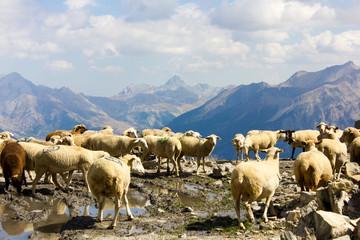 Flock of Sheeps at Alpes-de-Haute-Provence, France