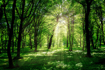 Forest in spring with a bright sun shining through the branches of trees