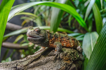 Chinese crocodile lizard