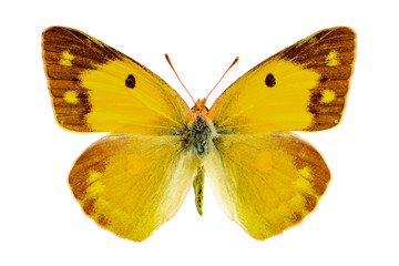 Colias crocea on a white background