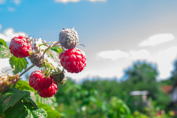 Raspberry on a branch in a garden, nature background