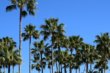 A lot of palm trees on a clear summer day