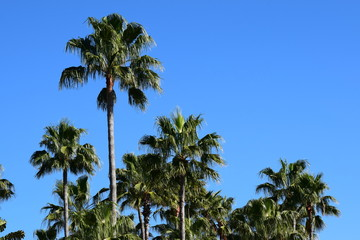 Many palm trees on a clear summer day