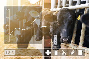 Agritech concept with dairy cows in cowshed with data display