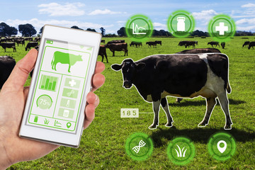 Agritech concept smartphone app accessing dairy cows data and statistics in a grassy field