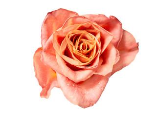 Beautiful orange roses : Isolated on white background