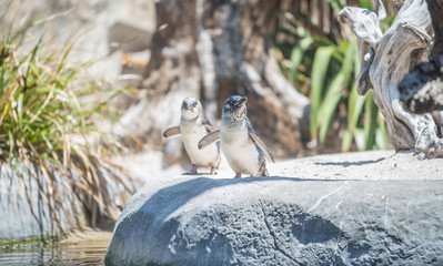 The Fairy penguin (or Blue penguin) in National aquarium of New Zealand. This species is the smallest penguin in the world.