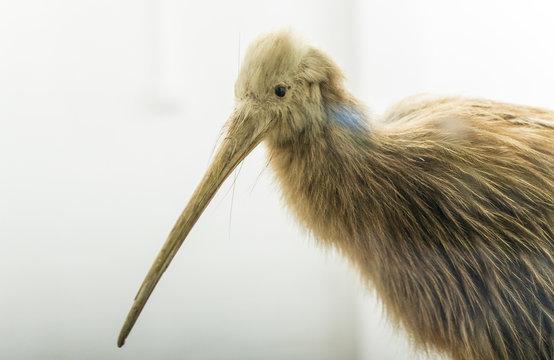 Cropped shot of Stuffed Kiwi bird the national symbol animal of New Zealand.