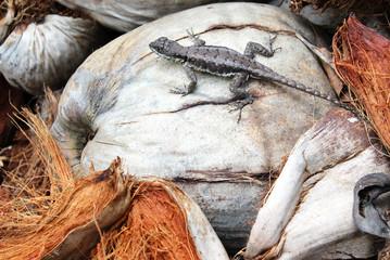 Lizard of the Chapada do Elias
