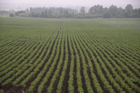 rural landscape - landings of potatoes