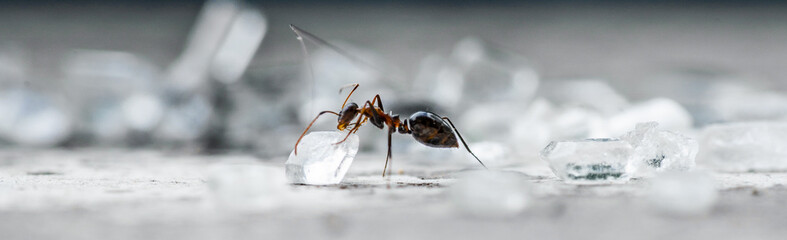 Closeup Macro of Ant picking up a sugar cube