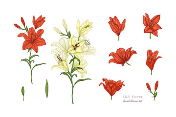 Set of lily flowers in color. Vector botanical illustration of florist. Hand drawn illustration in vintage style.
