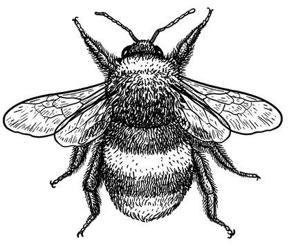 Bumblebee (bombus terrestris) illustration, drawing, engraving, ink, line art, vector