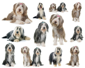 group of bearded collie