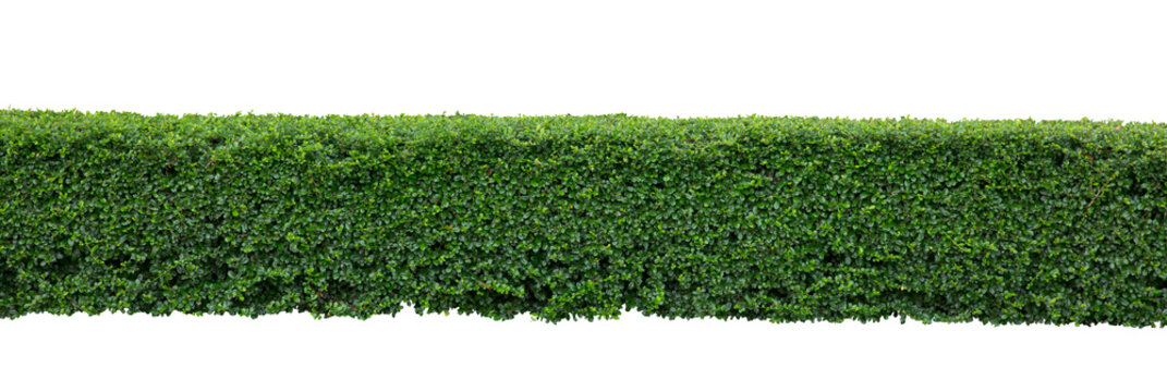 Green hedge or Green Leaves Wall on isolated,Objects with Clipping Paths