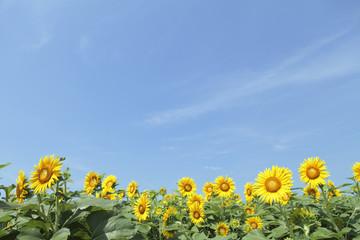 大空とひまわり畑