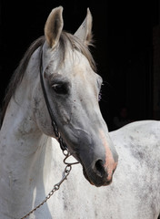 Portrait of a white andalusian warmblood horse