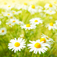 Daisy flowers field