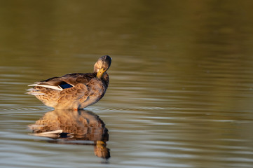 Female wild duck (Anas platyrhynchos) preening in a pond.