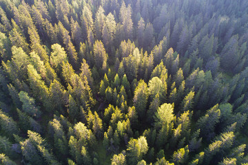 Forest, pines and larchs view from above, aerial shot. Mountain landscape