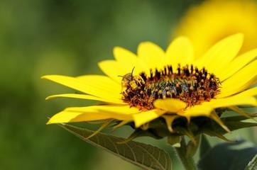 Lasioglossum calceatum in der Natur