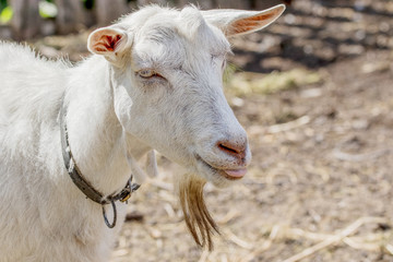 pet a white goat without horns.