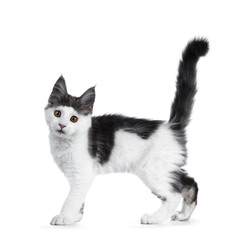 Funny and very expressive white with blue maine coon cat kitten standing / walking side ways with tail straight up in air, looking curious straight at lens, isolated on white background