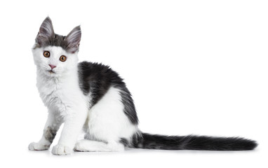 Funny and very expressive white with blue maine coon cat kitten sitting side ways looking curious straight at lens, isolated on white background