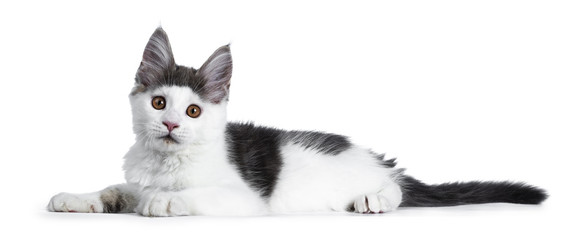Funny and very expressive white with blue maine coon cat kitten laying down side ways looking curious straight at lens, isolated on white background