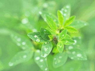 Trifolium pratense, the red clover, genus Trifolium. Flower bud and green leaves in dew drops