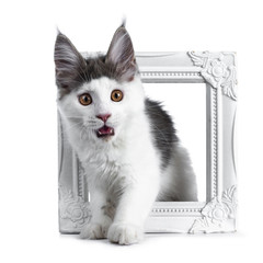 Funny and very expressive white with blue maine coon cat kitten standing through a white photo frame looking very surprised with open mouth straight at lens