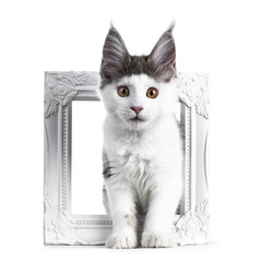 Funny and very expressive white with blue maine coon cat kitten standing through a white photo frame looking straight at lens