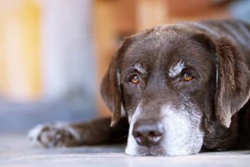 The dog sleeps sad waiting in front of the house. Straight looking face. Pets concept.