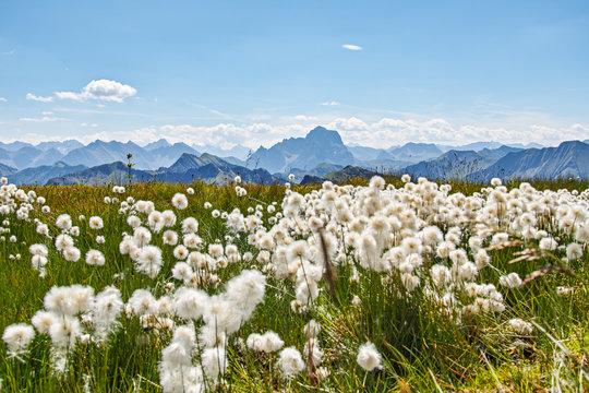 Cotton grass Alps Austria