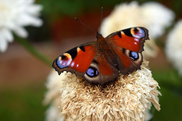 European peacock butterfly is sitting on a faded flower