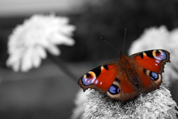 Bright and colourful European peacock butterfly in the black and white photo. Selective colour