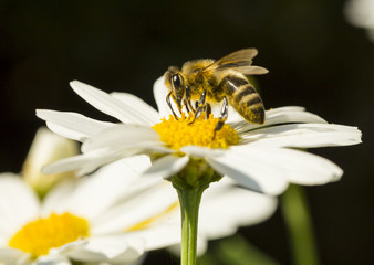 Obraz pszczoła na kwiatku-zbiór pyłku - fototapety do salonu