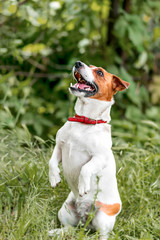 Portrait of adorable small white and red dog jack russel terrier standing on its hind paws and looking up outside on green grass blurred background