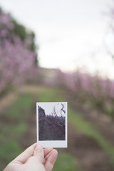 Hand holding  taking photo of cherry blossom in spring time...