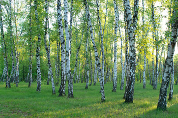 Papiers peints Forets Birch grove in the forest, green foliage in the summer